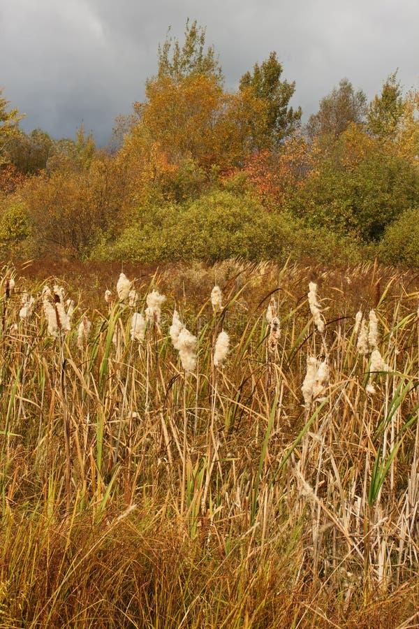 Общий bulrush в ландшафте осени стоковое изображение rf