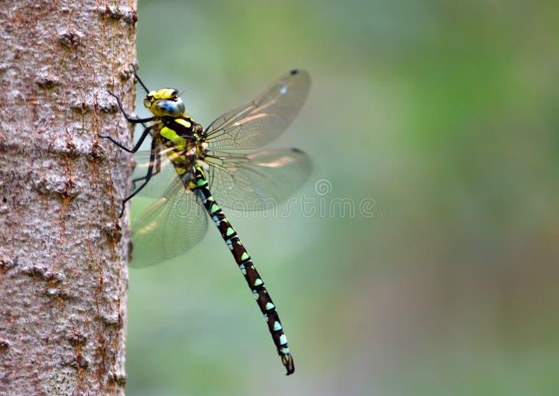 Общий Dragonfly лоточницы стоковое изображение