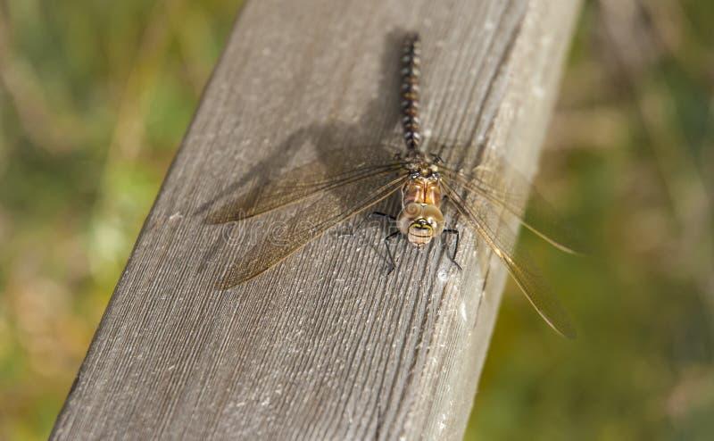 Общий Dragonfly лоточницы стоковая фотография rf