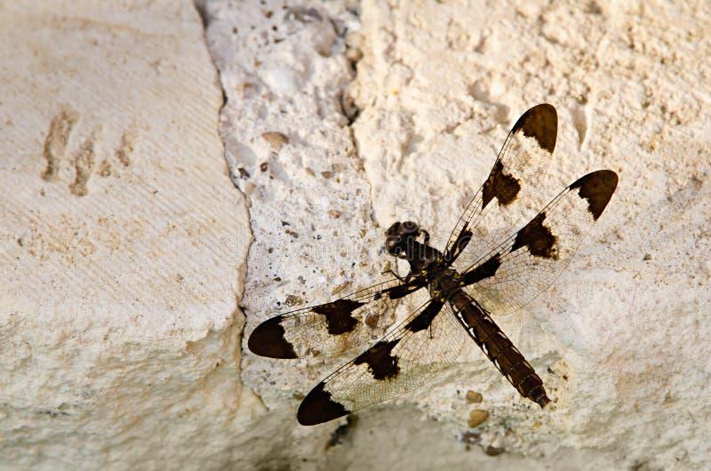 Общий dragonfly Whitetail стоковая фотография