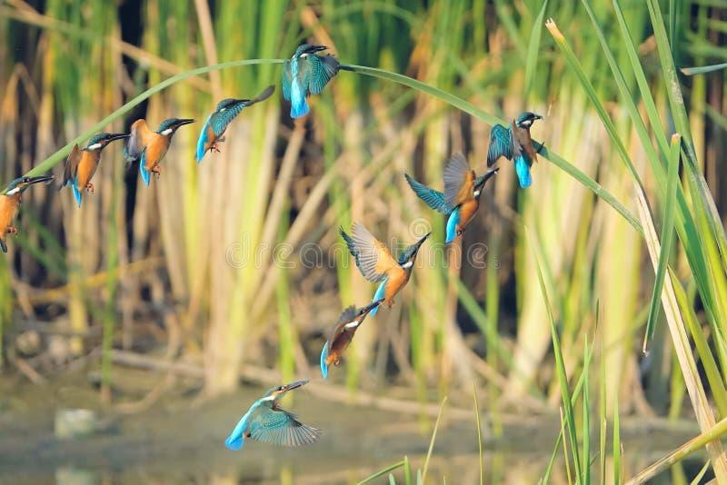 Общий Kingfisher летая стоковые изображения rf