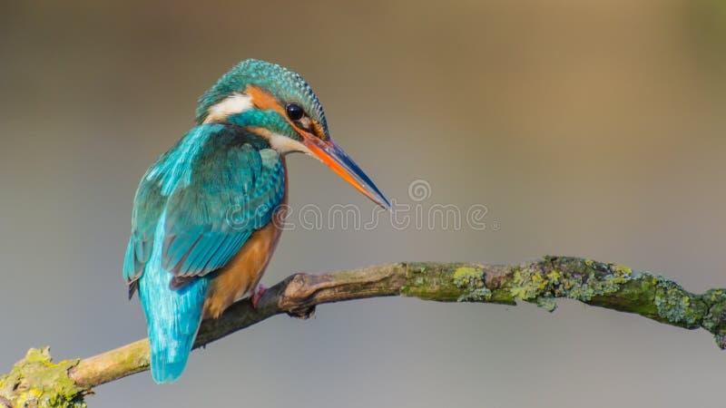 общий kingfisher стоковые изображения