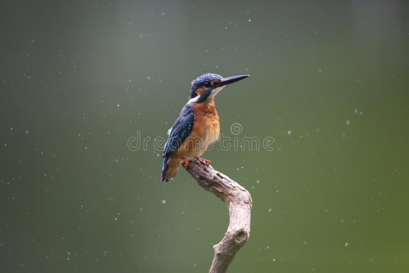 общий kingfisher стоковая фотография rf