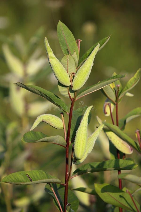 общий milkweed стоковое фото rf