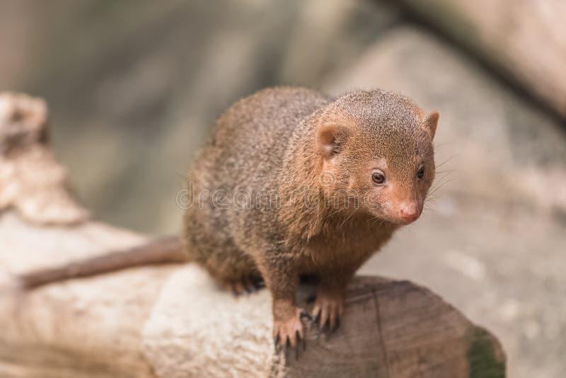 Общий mongoose карлика стоковое изображение rf
