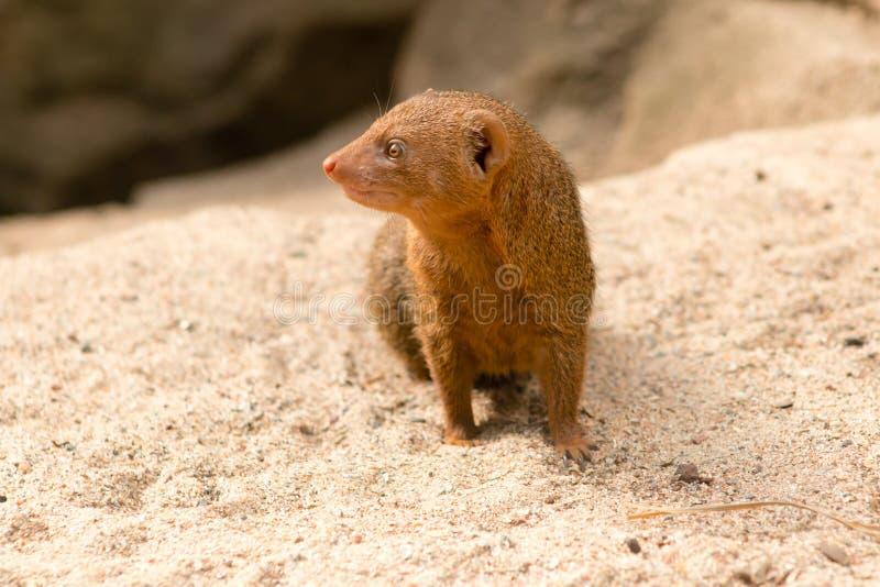Общий mongoose карлика стоковая фотография rf