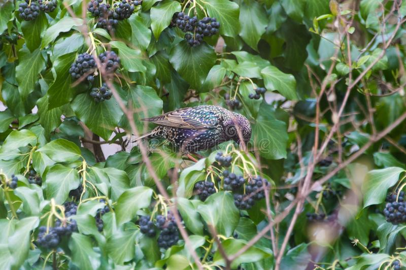 Общий starling в кусте стоковое фото