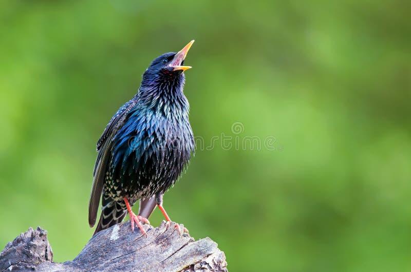 Общий starling садясь на насест на пне дерева и поя стоковые фотографии rf