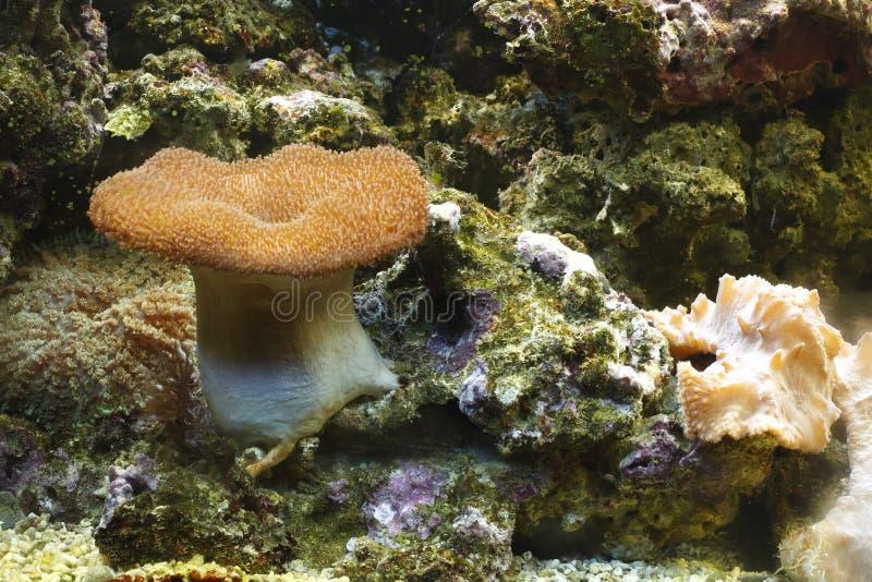 общий toadstool коралла стоковое изображение rf