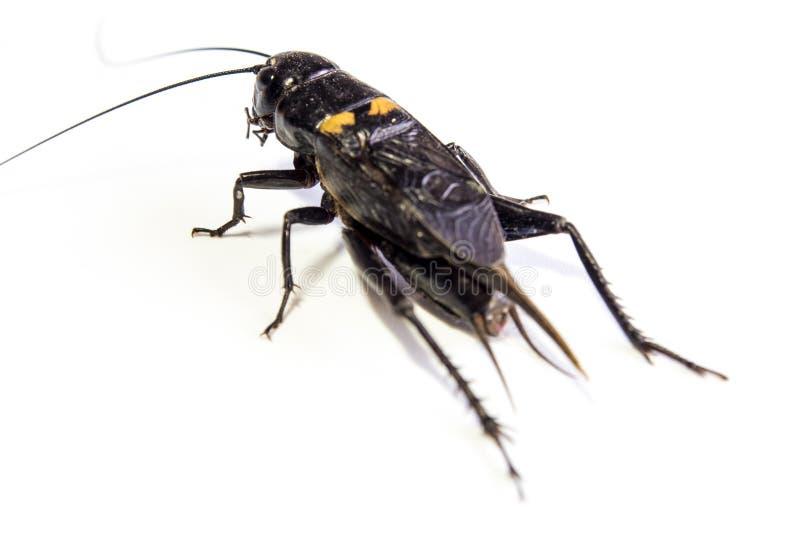Общим черным насекомое изолированное сверчком на белой предпосылке стоковые изображения rf