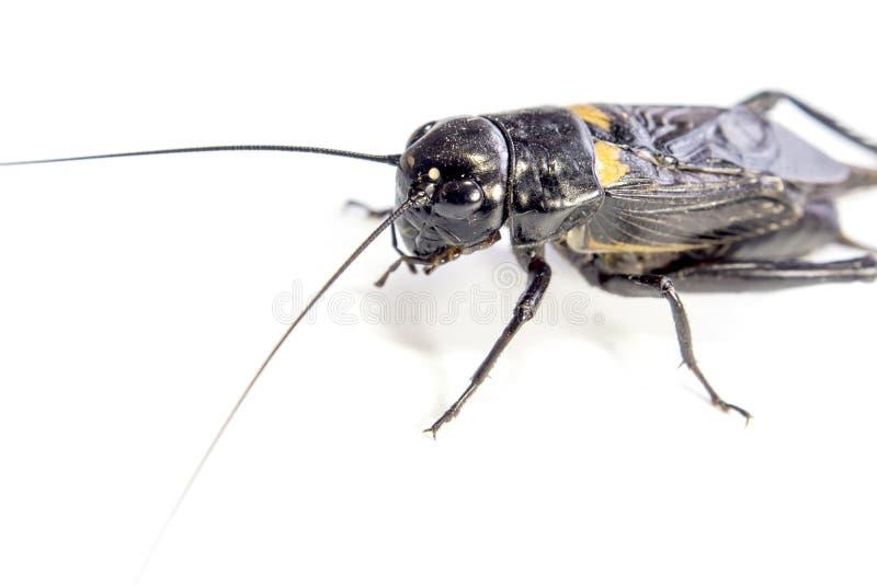 Общим черным насекомое изолированное сверчком на белой предпосылке стоковая фотография