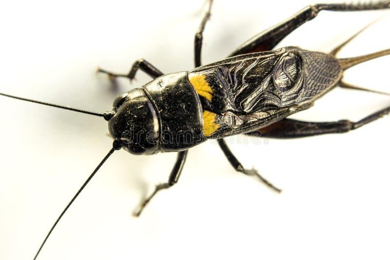 Общим черным насекомое изолированное сверчком на белой предпосылке стоковые фото