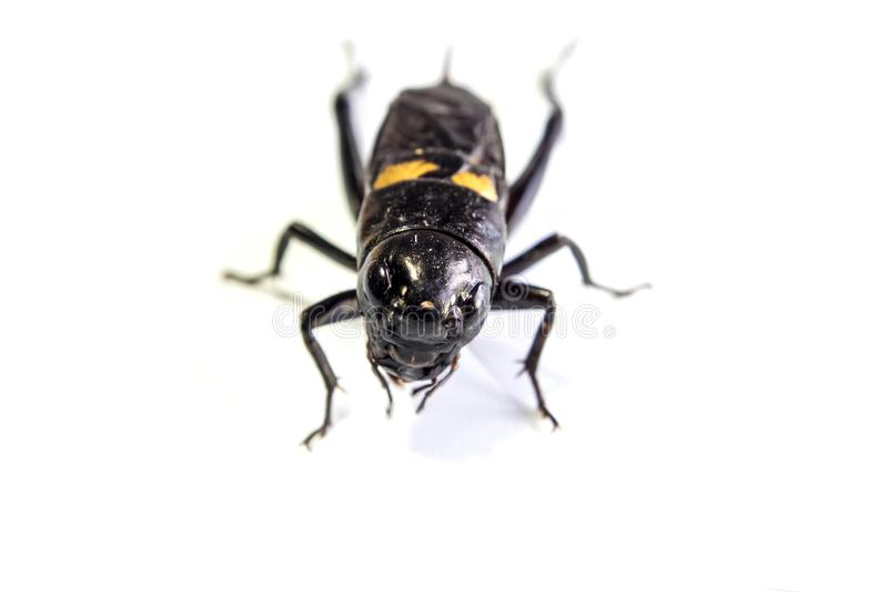 Общим черным насекомое изолированное сверчком на белой предпосылке стоковые изображения