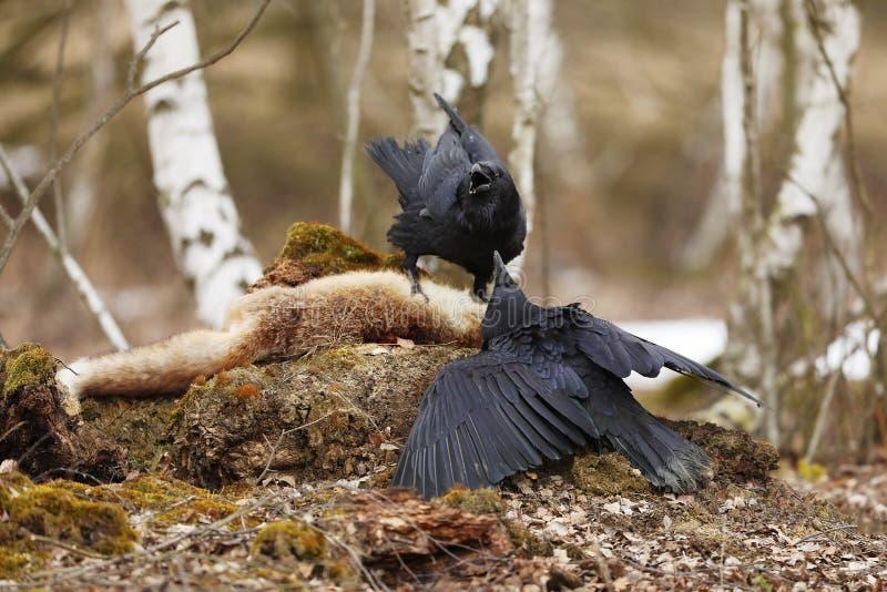 2 общих ворона воевать совместно в лесе березы весной r стоковое фото