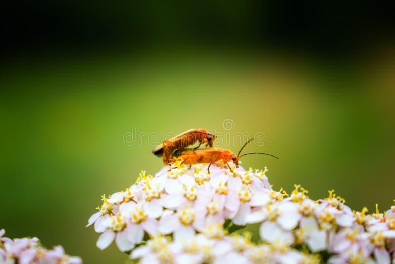 2 общих красных жука солдата на белом цветке стоковое изображение rf