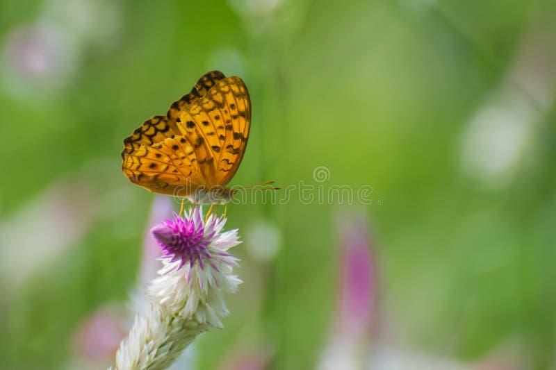 Общяя бабочка леопарда стоковая фотография