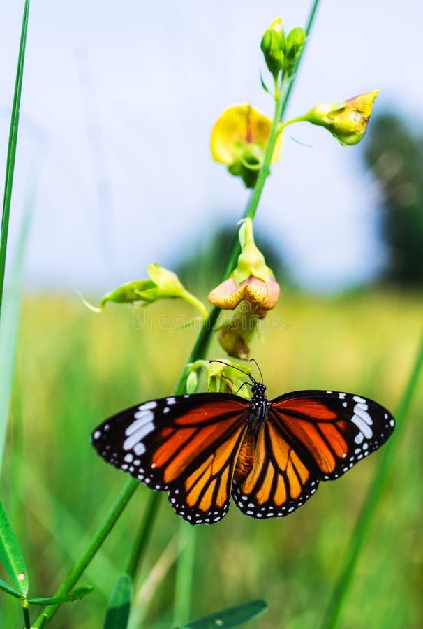 Общяя бабочка тигра стоковое фото rf