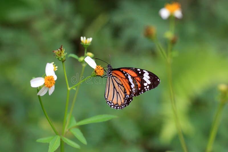 Общяя бабочка тигра стоковая фотография