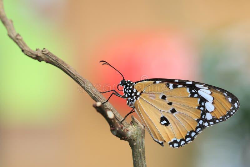 Общяя бабочка тигра стоковое изображение