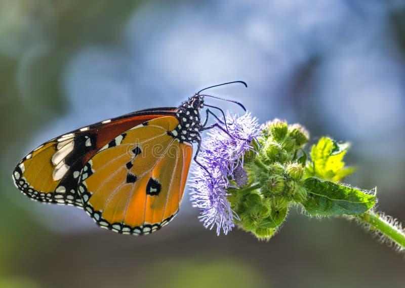 Общяя бабочка тигра стоковые фото