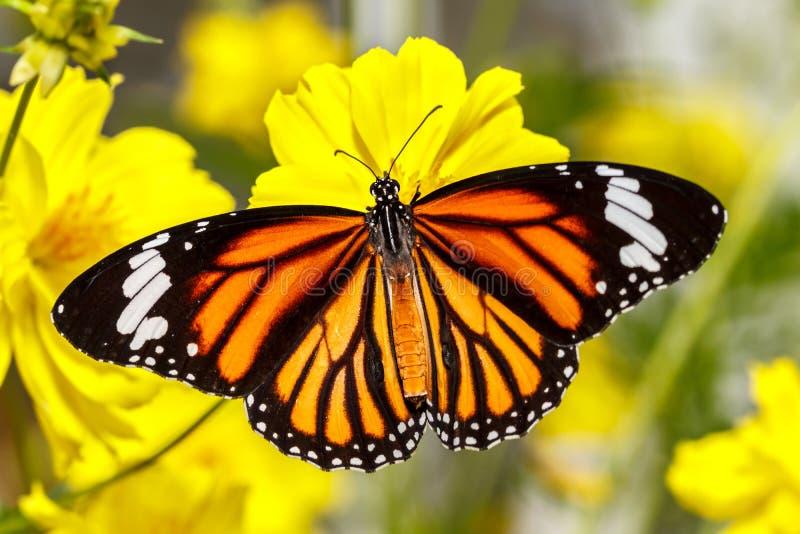 Общяя бабочка тигра (genutia Danaus) стоковое фото rf