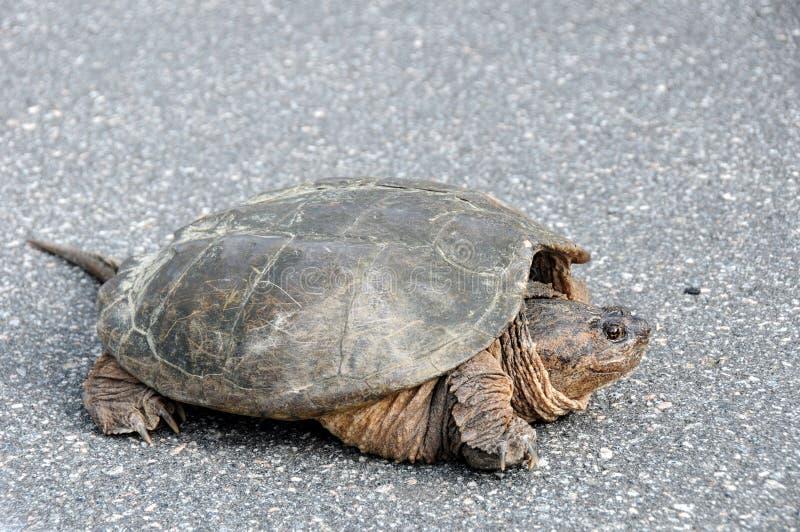 общяя большая щелкая черепаха стоковые изображения