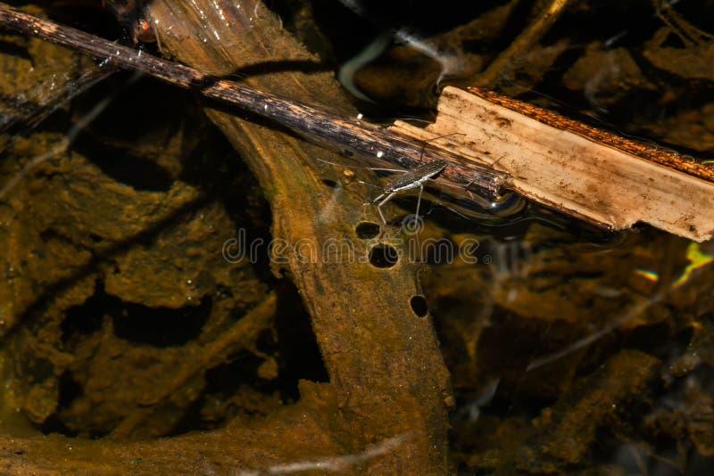 общяя вода strider стоковые изображения