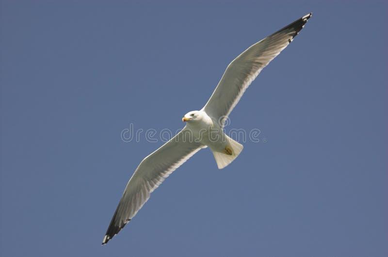 общяя чайка стоковая фотография rf