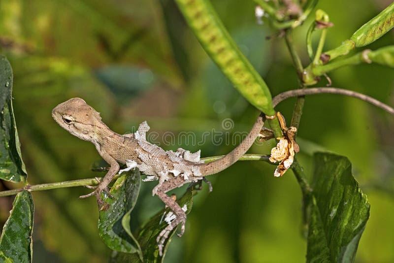Обыкновенная ящерица в фазе формования стоковое фото rf