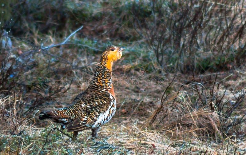 Обыкновенный глухарь курицы стоковая фотография rf