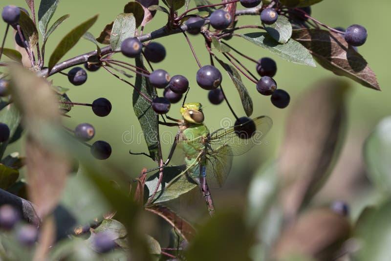 Обычный зеленый Дарнер анакс джуниус на дереве ветки стоковая фотография