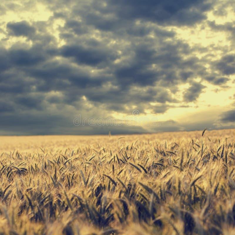 Облака шторма собирая над пшеничным полем стоковые изображения rf