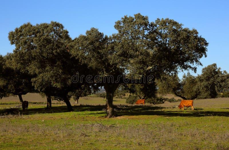 Область Португалии, Alentejo, дуб пробочки Evora Suber Quercus стоковые изображения