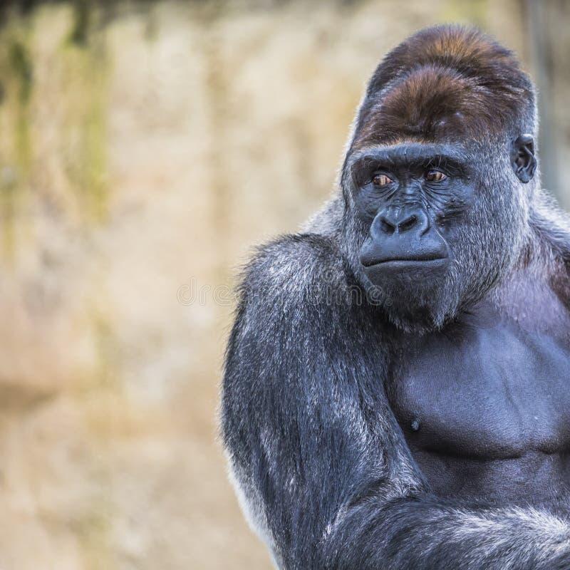 Облицовка западной гориллы низменности женской стоящая вперед стоковое фото rf