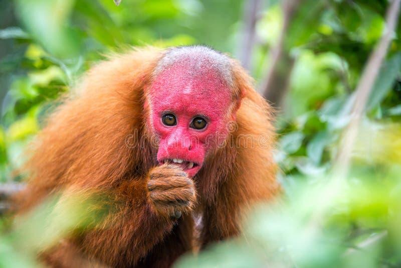 Облыселая обезьяна Uakari стоковое фото rf