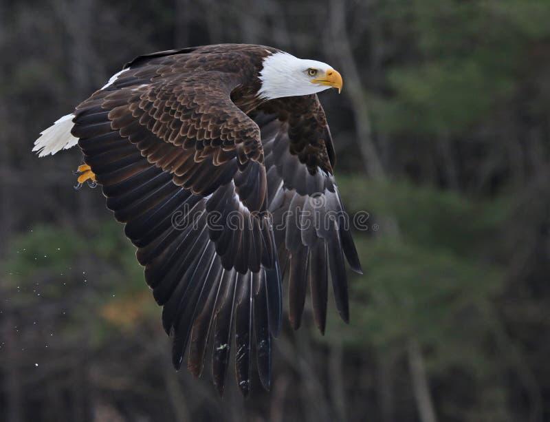облыселый орел с принимать стоковые фотографии rf