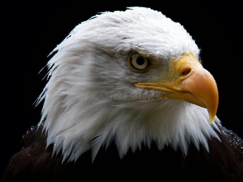 облыселый орел стоковые изображения