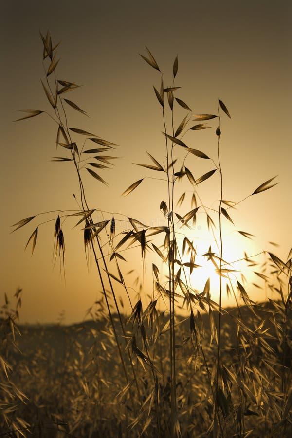 овес поля засаживает заход солнца Тоскану стоковое изображение rf