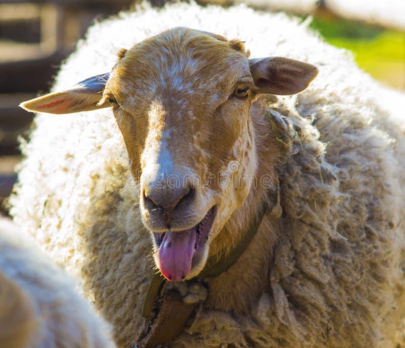Овечка Овечка животноводческих ферм Овечка скотного двора Белое lookin овечки стоковое фото