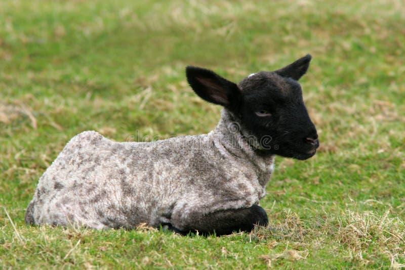 овечка младенца стоковая фотография rf