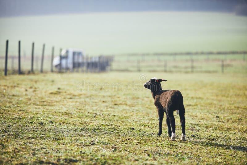Овечка на ферме стоковые фото