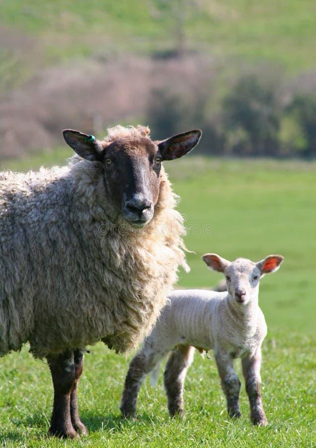 овечка овцематки стоковое фото rf