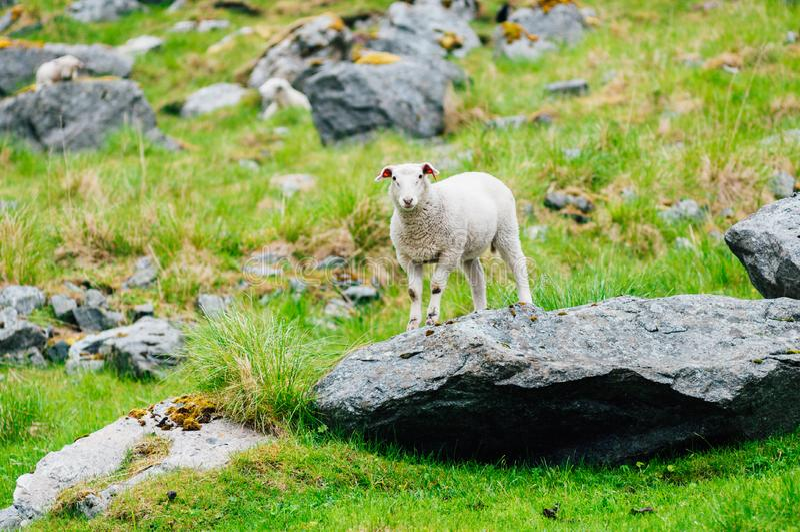 Овечка оставаясь на большом утесе в горах Норвегия, европа стоковое фото