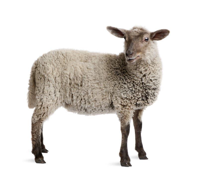 овечка предпосылки передняя стоя бела стоковые изображения rf