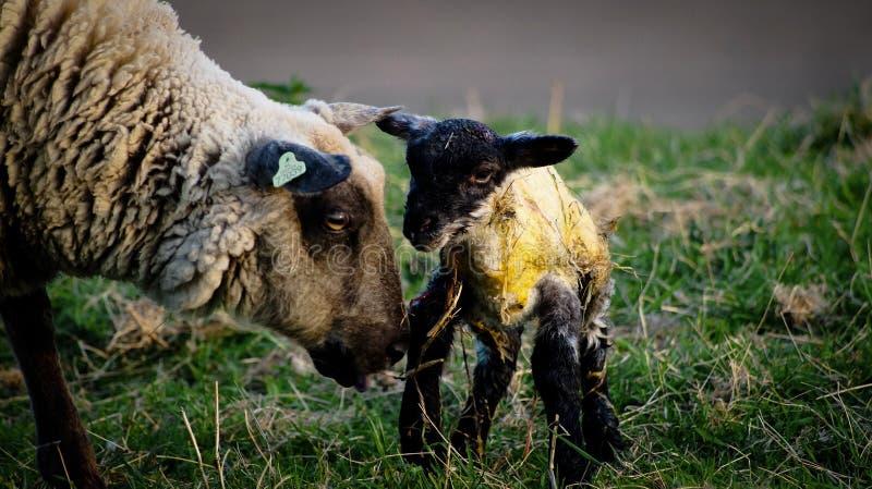 овечка newborn стоковая фотография rf