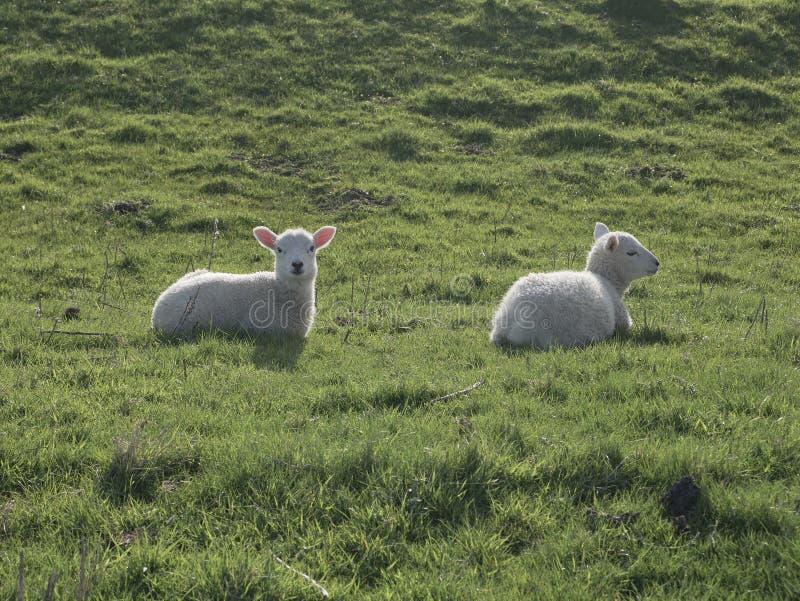2 овечки лежа в солнечном свете стоковая фотография rf
