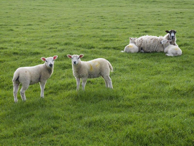 2 овечки стоя при одна овца лежа с 2 овечками стоковые фото
