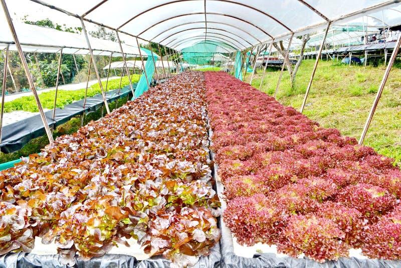 Овощи гидропоники: засаживать овощ без почвы стоковое изображение rf