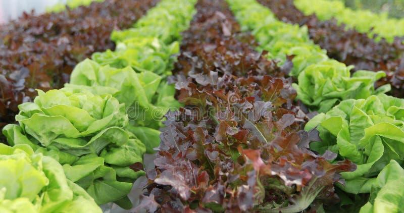 Овощи органические и Hydroponic капуста овощей растя внутри стоковые изображения rf