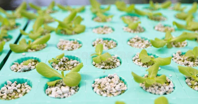 Овощи органические и Hydroponic капуста овощей растя внутри стоковое фото rf